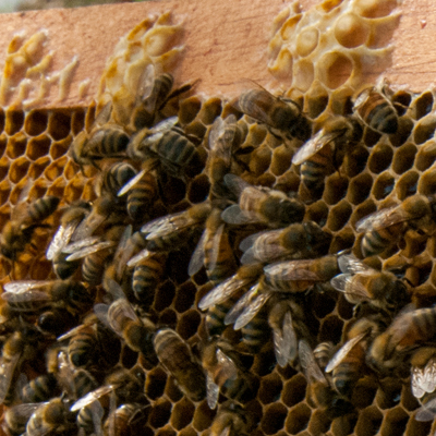 Local beekeepers and their honeybees